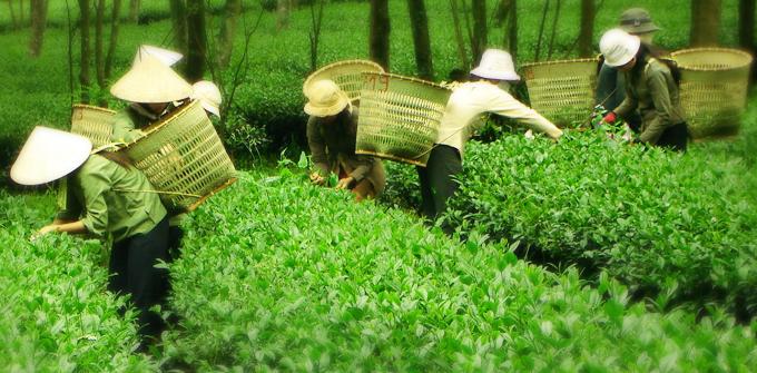 Những búp trà olong Đất việt được tuyển chọn và hái bằng tay